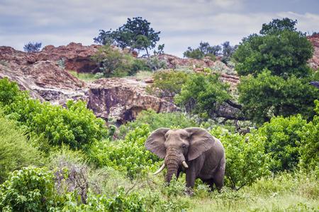 African bush elephant in Mapungubwe national park, South Africa; Specie Loxodonta africana family of Elephantidae