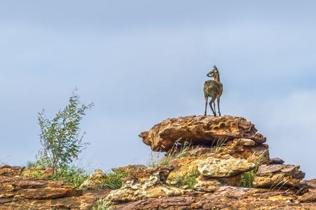 Klipspringer in Mapungubwe National Park, South Africa; Specie Oreotragus oreotragus family of Bovidae Stock Photo
