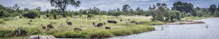 herd of common waterbuck and blue wildebeest in Kruger National Park, South Africa