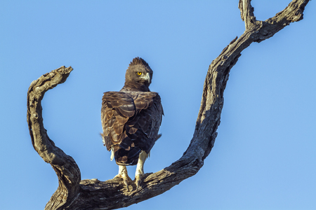 Martial eagle in Kruger National Park, South Africa; Specie Polemaetus bellicosus family of Accipitridae Stock Photo