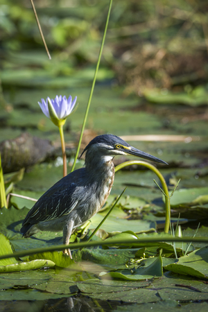 Green-backed heron in Kruger National Park, South Africa; Specie Butorides striata family of Ardeidae Stock Photo