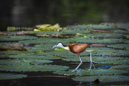 African jacana in Kruger National Park, South Africa; Specie Actophilornis africanus family of Jacanidae 免版税图像