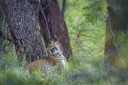 Leopard in Kruger National Park, South Africa; Specie Panthera pardus family of Felidae