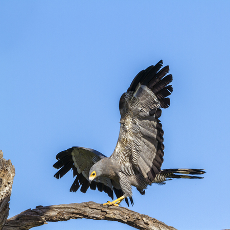 African Harrier-Hawk in Kruger National Park, South Africa; Species Polyboroides typus family of Accipitridae