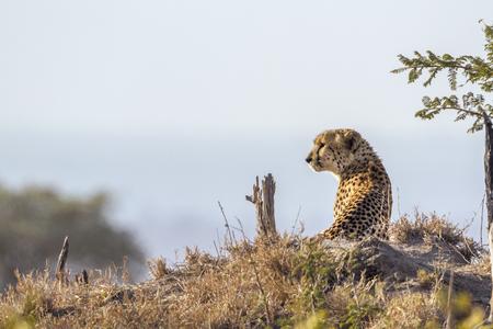 Cheetah in Kruger National Park, South Africa; Specie Acinonyx jubatus family of Felidae