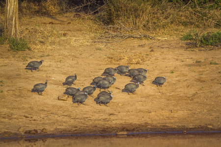 Helmeted guineafowl in Kruger National Park, South Africa; Specie Numida meleagris family of Numididae