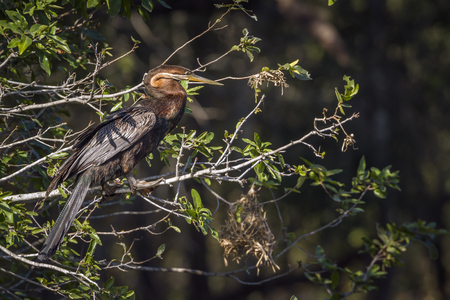 African darter in Kruger National Park, South Africa; Anhinga species rufa family of Anhingidae Stock Photo