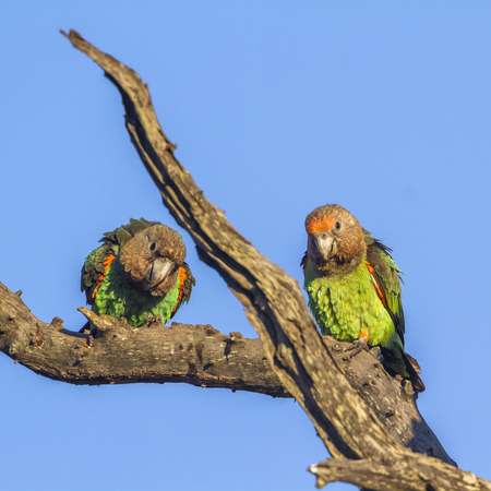 Cape Parrot in Kruger National park, South Africa ; Specie Poicephalus robustus family of Psittacidae Stock Photo