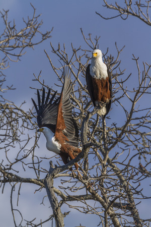 African fish eagle in Kruger National park, South Africa ; Specie Haliaeetus vocifer family of Accipitridae 版權商用圖片