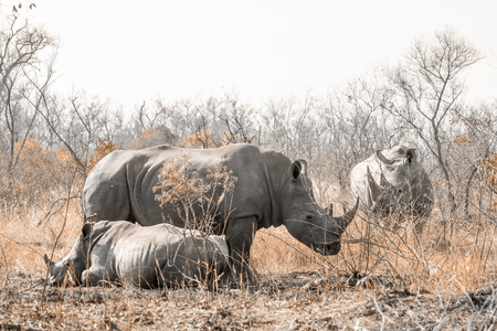 Southern white rhinoceros in the Kruger National Park, South Africa; Specie Ceratotherium simum simum family of Rhinocerotidae Imagens