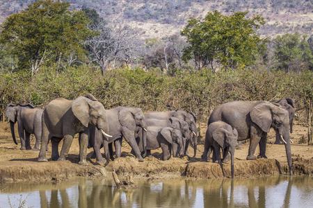 Éléphant de brousse d'Afrique dans le parc national Kruger, Afrique du Sud ; Espèce Loxodonta africana famille des Elephantidae
