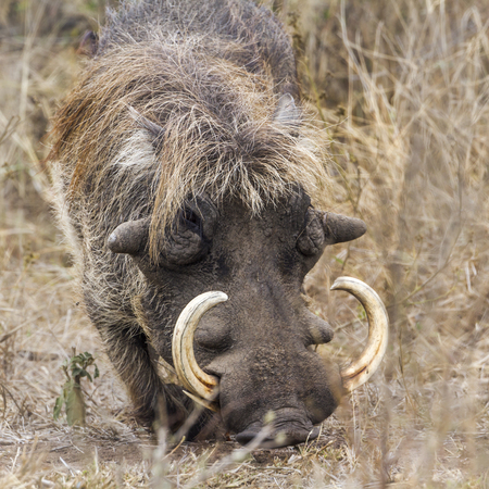 common warthog in Kruger National park, South Africa ; Specie Phacochoerus africanus family of Suidae