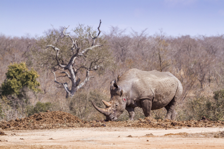 Southern white rhinoceros in Kruger National park, South Africa ; Specie Ceratotherium simum simum family of Rhinocerotidae Stock Photo