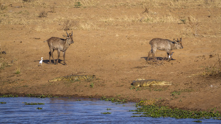 Common Waterbuck and Nile crocodile in Kruger National park, South Africa ; Specie Kobus ellipsiprymnus and Crocodylus niloticus