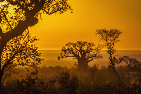 Baobab tree in sunrise landscape in Kruger National park, South Africa ; Specie Adansonia digitata family of Malvaceae