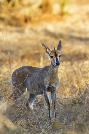 Common duiker in Kruger National park, South Africa ; Specie Sylvicapra grimmia family of Bovidae