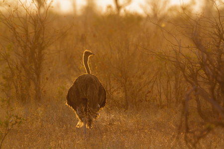 African Ostrich in Kruger National park, South Africa ; Specie Struthio camelus family of Struthionidae Stock Photo