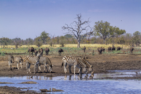 Plains zebra in Kruger National park, South Africa ; Specie Equus quagga burchellii family of Equidae