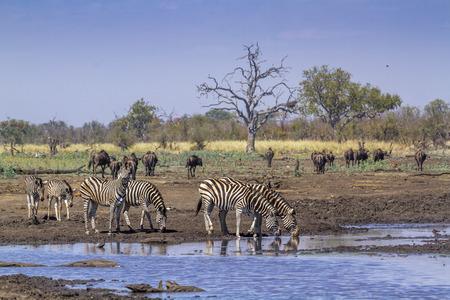 Zèbre des plaines dans le parc national Kruger, Afrique du Sud ; Espèce Equus quagga burchellii famille d'équidés Banque d'images