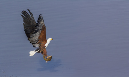 African fish eagle in Kruger National park, South Africa ; Specie Haliaeetus vocifer family of Accipitridae Stock Photo