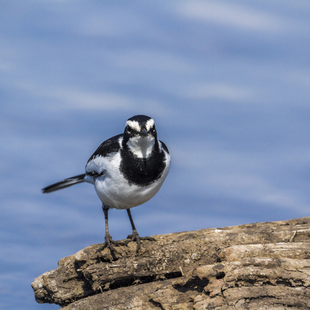 African Pied Wagtail in Kruger National park, South Africa ; Specie Motacilla aguimp family of Motacillidae Stock Photo