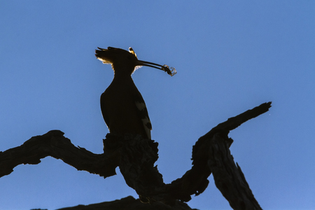African hoopoe in Kruger National park, South Africa ; Specie Upupa africana family of Upupidae
