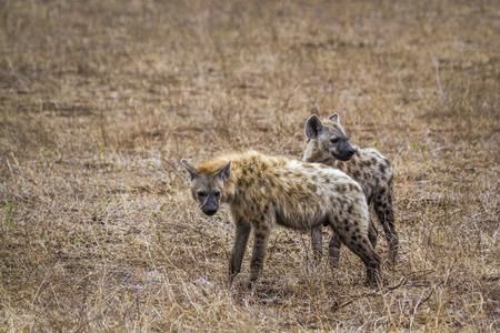 Spotted hyaena in Kruger National park, South Africa ; Specie Crocuta crocuta family of Hyaenidae