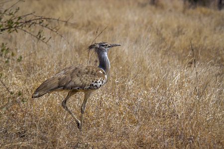 Kori bustard in Kruger National park, South Africa ; Specie Ardeotis kori family of Otididae