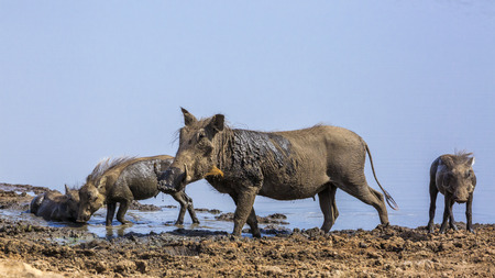 Common warthog mother and three cub mud bathing in Kruger National park, South Africa ; Specie Phacochoerus africanus family of Suidae Stock Photo