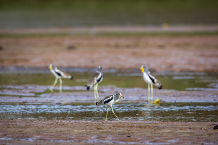 Group of White headed Lapwing wading in Kruger National park, South Africa ; Specie Vanellus albiceps family of Charadriidae