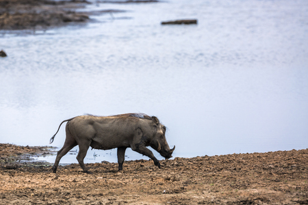 common warthog walking on riverside in Kruger National park, South Africa ; Specie Phacochoerus africanus family of Suidae Stock Photo