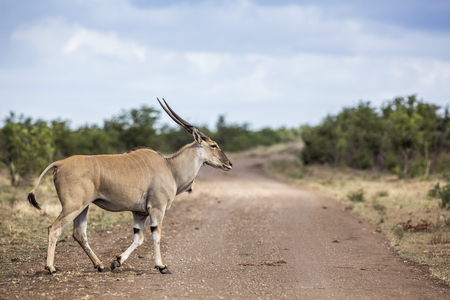 Common eland horned male crossing dirt road in Kruger National park, South Africa ; Specie Taurotragus oryx family of Bovidae