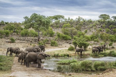 African bush elephant herd drinking in water hole in Kruger National park, South Africa ; Specie Loxodonta africana family of Elephantidae