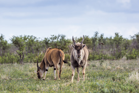 Two Common eland male in Kruger National park, South Africa ; Specie Taurotragus oryx family of Bovidae
