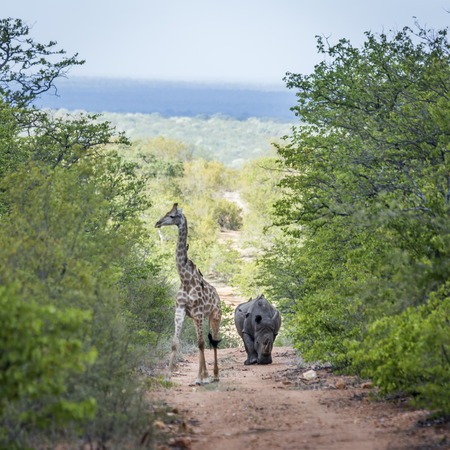 Southern white rhinoceros and Giraffe in Kruger National Park, South Africa; Specie Ceratotherium simum simum and Giraffa camelopardalis