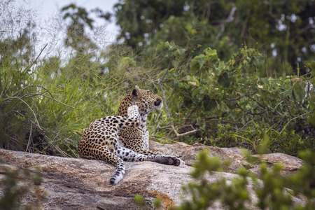 Leopard lying down and scratching on a rock in Kruger National park, South Africa ; Specie Panthera pardus family of Felidae