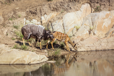 Nyala couple drinking in waterhole in Kruger National park, South Africa ; Specie Tragelaphus angasii family of Bovidae