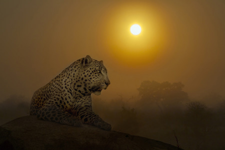 Leopard lying down on rock at sunset in Kruger National park, South Africa ; Specie Panthera pardus family of Felidae
