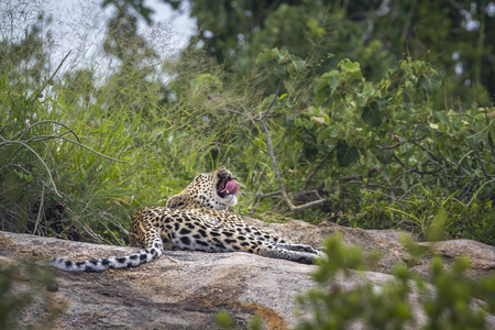 Leopard lying down and yawning on a rock in Kruger National park, South Africa ; Specie Panthera pardus family of Felidae