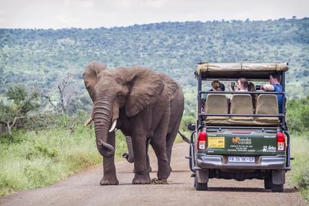 African bush elephant walking along safari tour in Kruger National park, South Africa ; Specie Loxodonta africana family of Elephantidae