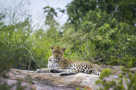 Leopard lying down on rock in Kruger National park, South Africa ; Specie Panthera pardus family of Felidae Stock Photo