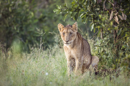 Young African lion sitted in Kruger National park, South Africa ; Specie Panthera leo family of Felidae