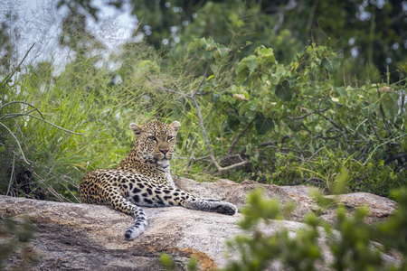 Leopard lying down on a rock in Kruger National park, South Africa ; Specie Panthera pardus family of Felidae