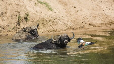 Two African buffalo bathing and a goose flying in Kruger National park, South Africa ; Specie Syncerus caffer family of Bovidae Banco de Imagens