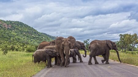 Small herd of African bush elephant crossing road in Kruger National park, South Africa ; Specie Loxodonta africana family of Elephantidae Stock Photo