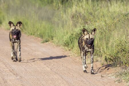 Two African wild dog running on gravel road in Kruger National park, South Africa ; Specie Lycaon pictus family of Canidae Imagens