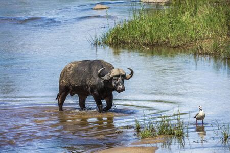 African buffalo bull crossing a river in Kruger National park, South Africa ; Specie Syncerus caffer family of Bovidae
