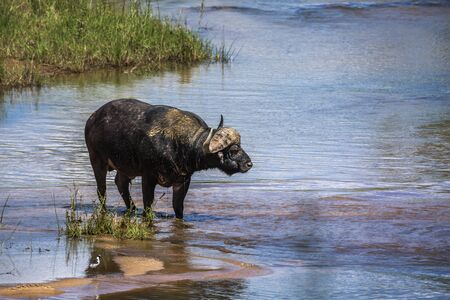African buffalo standing in middle of river in Kruger National park, South Africa ; Specie Syncerus caffer family of Bovidae 写真素材