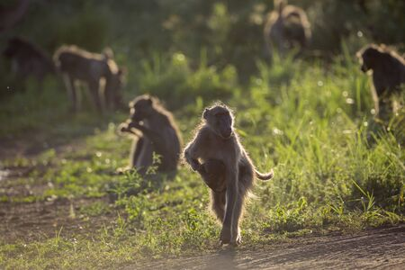 Chacma baboon female running with baby in Kruger National park, South Africa ; Specie Papio ursinus family of Cercopithecidae