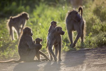 Small group of Chacma baboon in backlit in Kruger National park, South Africa ; Specie Papio ursinus family of Cercopithecidae